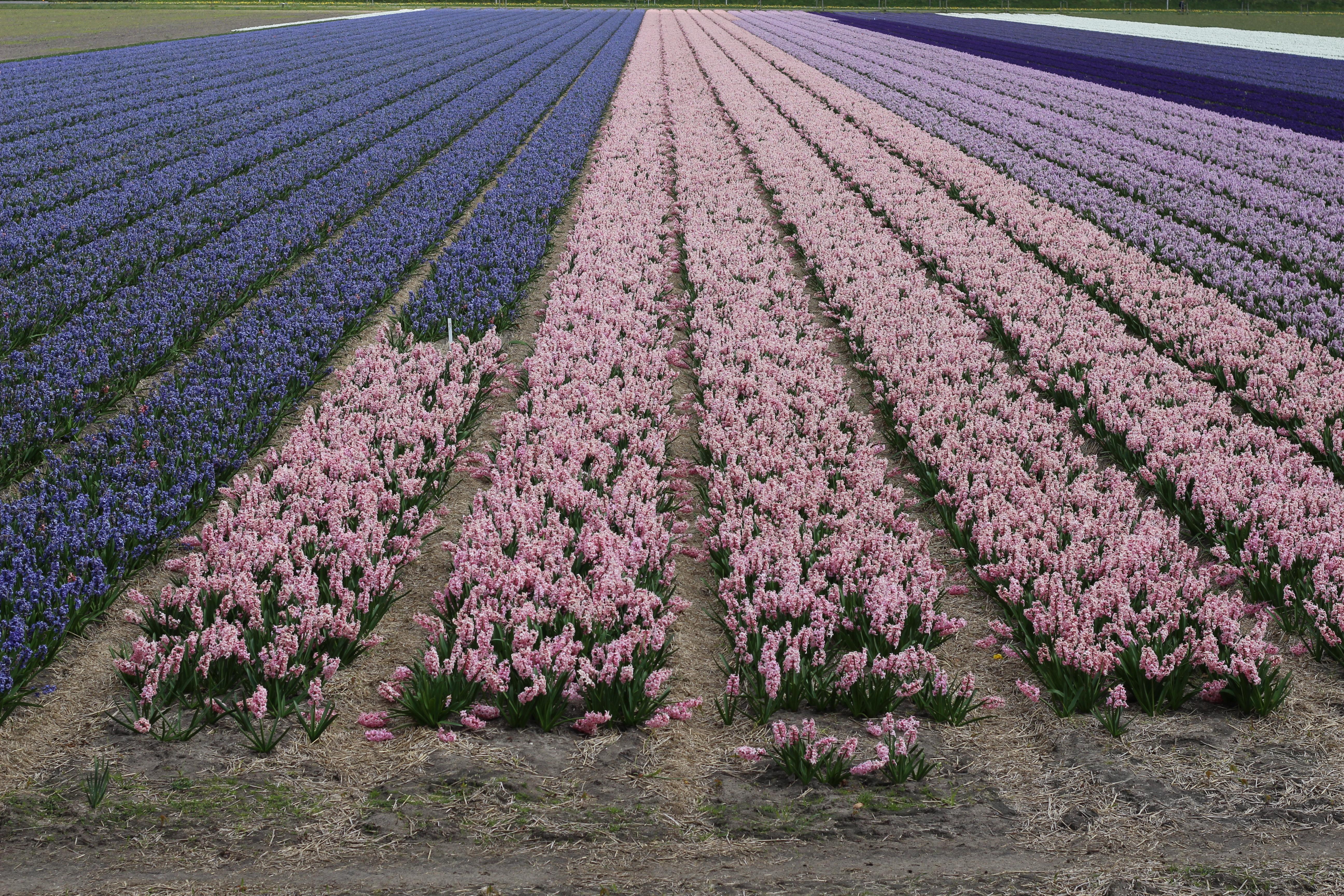 Veld hyacinten